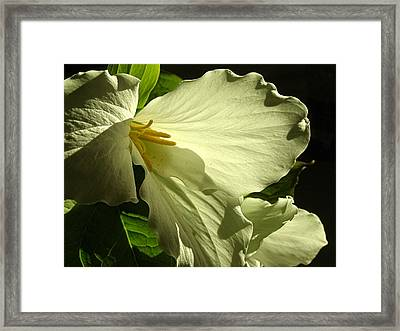 Framed Print featuring the photograph Morning Light - Trillium by Angie Rea