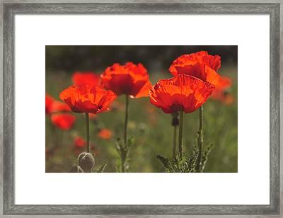 Morning Light In The Poppies Framed Print