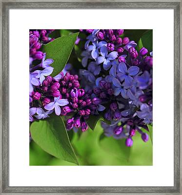 Morning Lilacs Framed Print by The Forests Edge Photography - Diane Sandoval