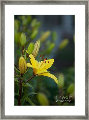Morning Lily Framed Print by Mike Reid