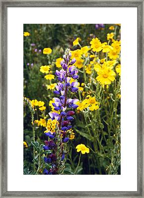 Morning Lupin Framed Print