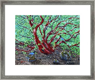 Morning Manzanita Framed Print by Laura Iverson