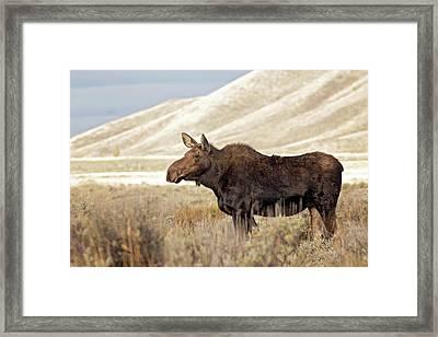 Morning Moose Framed Print