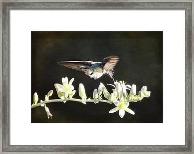 Morning Nectar Flyby  Framed Print