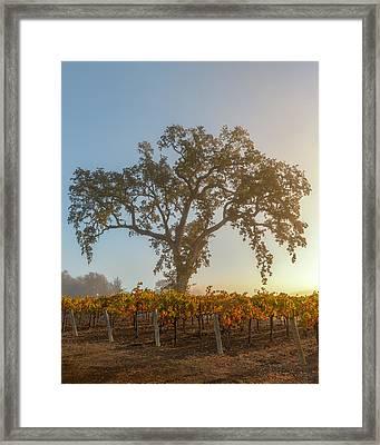 Morning Oak And Vineyard Framed Print