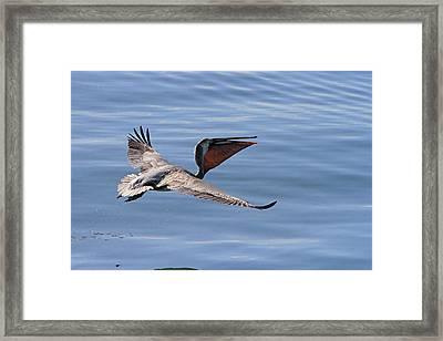 Morning Pelican Framed Print