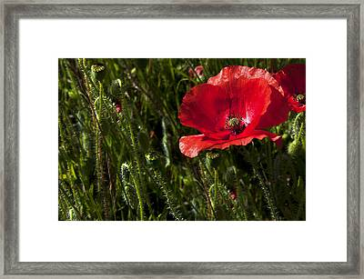 Morning Poppy Framed Print by Svetlana Sewell