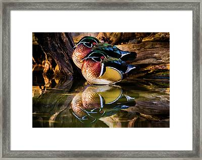 Morning Reflections - Wood Ducks Framed Print by TL Mair