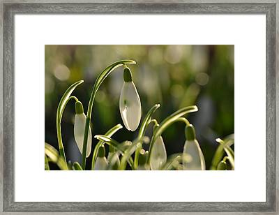 Morning Snowdrops Framed Print by JD Grimes
