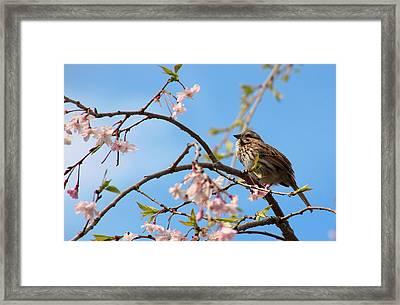 Morning Song Sparrow Framed Print by Rosanne Jordan