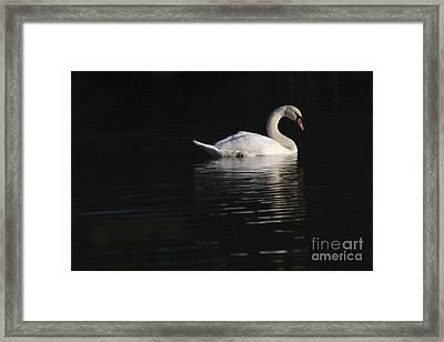Morning Swan Framed Print