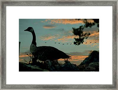Morning Traffic Canadian Geese Framed Print