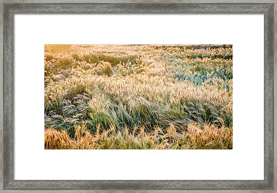 Morning Wheat Framed Print