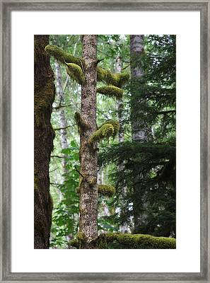 Moss-draped Trees On Tiger Mountain Wt Usa Framed Print by Christine Till