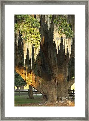 Framed Print featuring the photograph Moss Tree by Jeanne  Woods