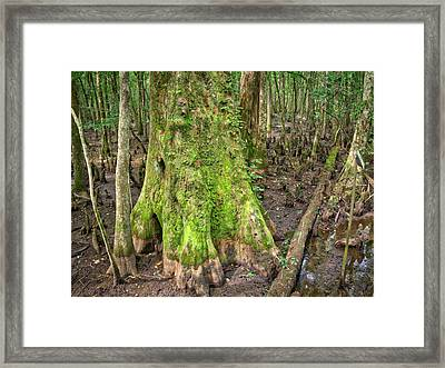 Mossy Cypress Framed Print