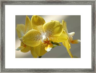 Moth Orchid - Phalaenopsis Brother Lawrence Framed Print