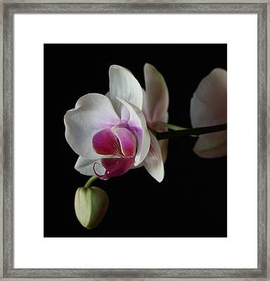 Moth Orchid 1 Framed Print by Marna Edwards Flavell