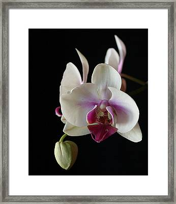 Moth Orchid 2 Framed Print by Marna Edwards Flavell