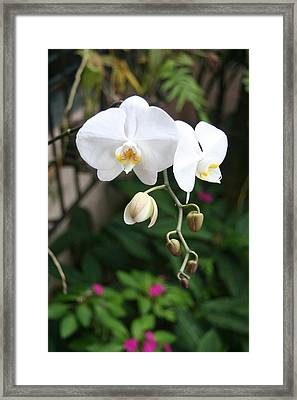 Framed Print featuring the photograph Moth Orchids by The Art of Alice Terrill