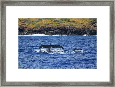 Mother And Calf Whaletails Framed Print