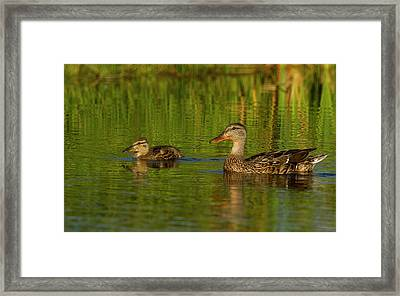Mother And Child Mallards Framed Print by Jean Noren