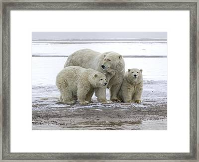 Mother And Cubs In The Arctic Framed Print