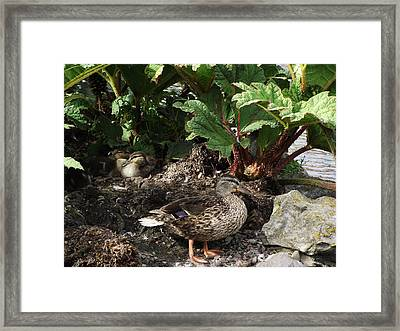 Mother And Ducklings Framed Print by Dawn Hay