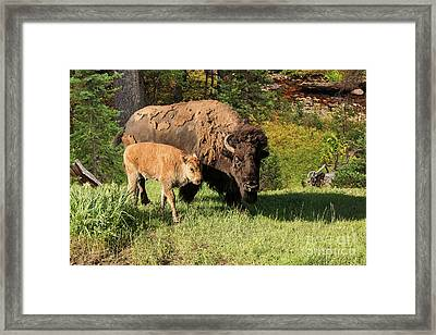 Mother Bison Buffalo Cow With Baby Calf Framed Print