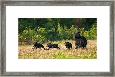Mother Black Bear And Three Cubs 7006 Framed Print