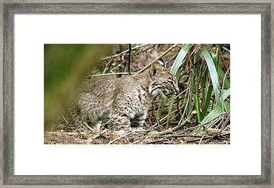 Mother Bobcat Framed Print by Sally Sperry