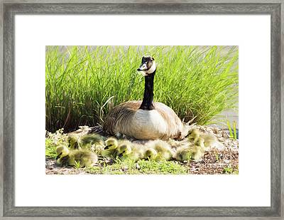 Mother Canada Goose With Her Goslings Framed Print by Vizual Studio
