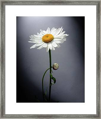 Mother Daisy Framed Print