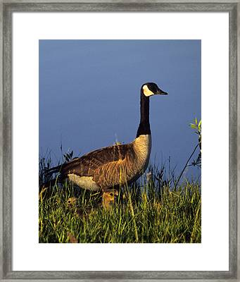 Mother Goose Framed Print by Bruce Gilbert