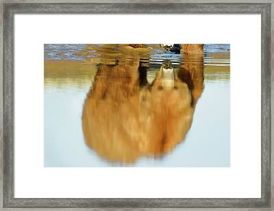 Mother Grizzly Reflection Framed Print