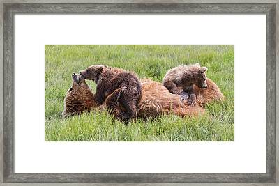 Mother Grizzly Suckling Twin Cubs Framed Print