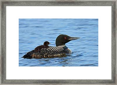 Mother Loon And Her Baby Framed Print by Rodney Campbell