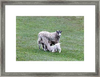 Mother Sheep And Lamb Framed Print