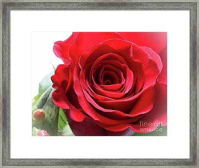 Mother's Day Rose Framed Print by Anita Oakley