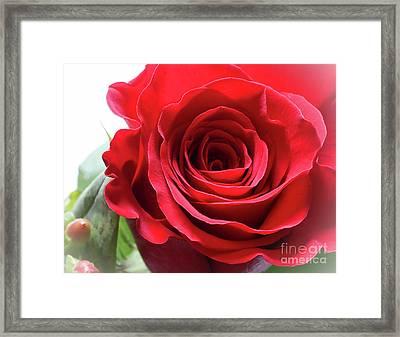 Mother's Day Rose Framed Print