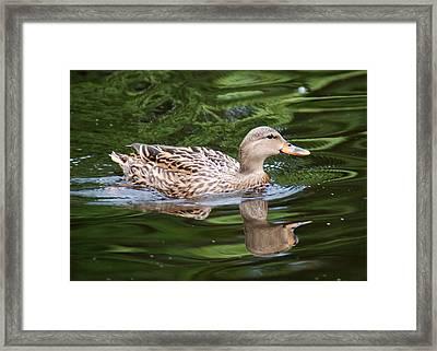 Mottled Duck Framed Print by Christine Savino