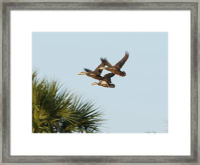 Framed Print featuring the photograph Mottled Ducks Take Flight by Lynda Dawson-Youngclaus