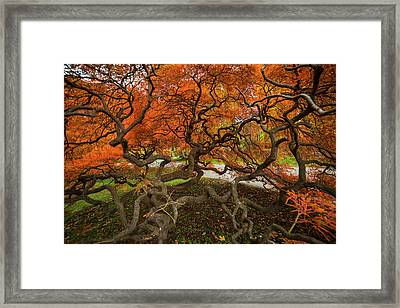 Mount Auburn Cemetery Beautiful Japanese Maple Tree Orange Autumn Colors Branches Framed Print
