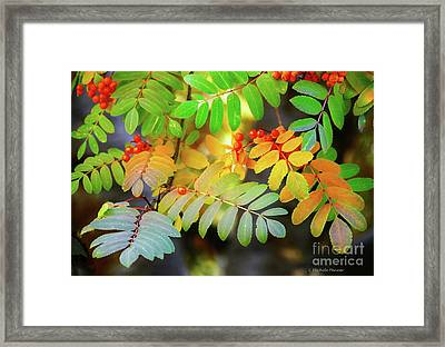 Mountain Ash Fall Color Framed Print by Michele Penner