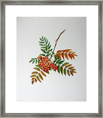 Mountain Ash  Framed Print by Margit Sampogna