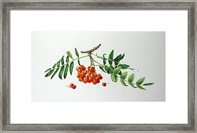 Mountain Ash With Berries  Framed Print