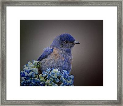 Mountain Bludbird Framed Print