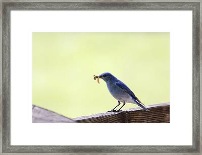 Mountain Blue Bird Framed Print by Dana Moyer