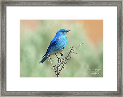 Mountain Bluebird Beauty Framed Print by Mike Dawson