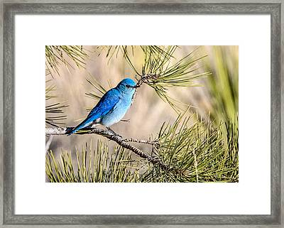 Mountain Bluebird In A Pine Framed Print
